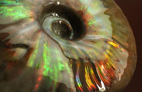 チャンスプライス!この大判イリデッセンスアンモナイト(Ammonite)をこのお値段で!