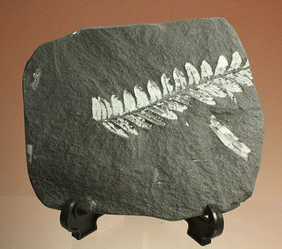 表裏、別種のシダ植物化石が楽しめる石炭紀プレート化石