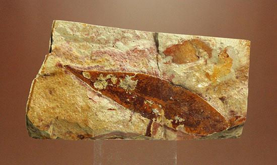大陸移動説の証拠の一つ、グロッソプテリスの化石