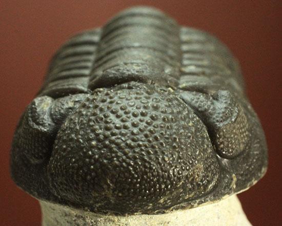 モロッコ産三葉虫ファコプスの典型的標本。ビギナーのお奨め良品です。