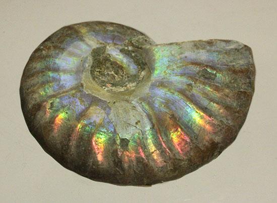 小サイズながら完全に虹色を示すアンモナイト/