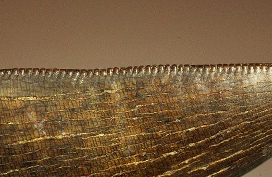 ロングカーブ74mmに達するティラノサウルス・レックスの歯化石。各所保存状態良好