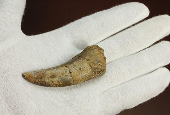 ロングカーブ計測65mm、官能的なフォルムを持つティラノサウルス・レックスの歯化石