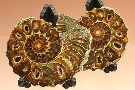 外殻も見どころあり。波打つ縁取りがデザイン性あふれる、アンモナイトハーフカット化石(Ammonite)/中生代白亜紀(1億3500万 -- 6500万年前)【an857】