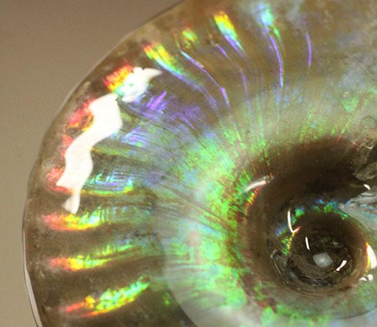 全体を包む虹色カラーに夢中!珍しい青色も広範囲に広がる、ジェム級遊色アンモナイト(Cleoniceras)/中生代白亜紀(1億3500万 -- 6500万年前)【an951】