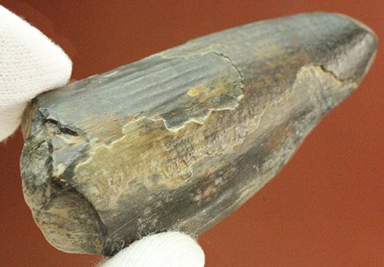 これぞ希少化石標本!大きい!スコミムスの歯化石/中生代白亜紀(1億3500万 -- 6500万年前)【di853】