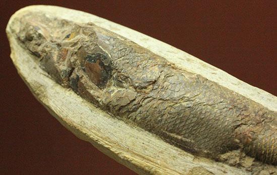 立体的!ウロコが保存された、ブラジル産の古代魚ラコレピス化石(Rhaphiolepis)/中生代白亜紀(1億3500万 -- 6500万年前)【ot749】