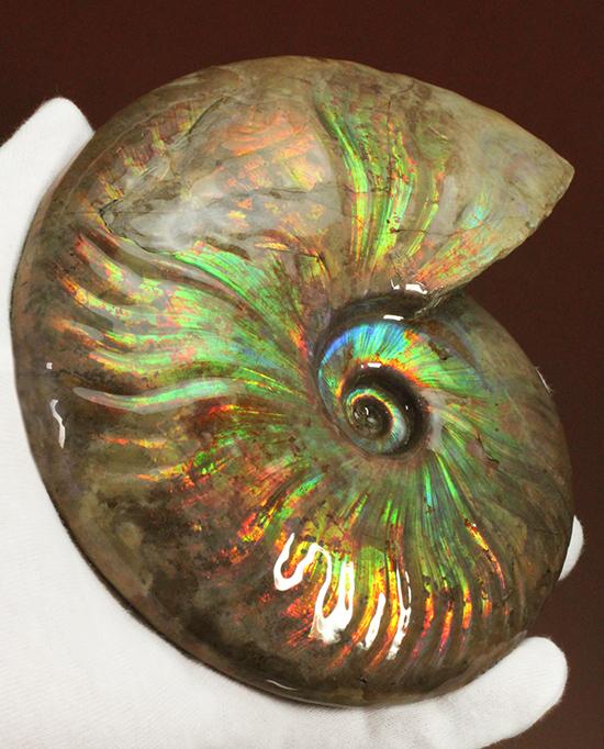 滅多にお目にかかれない!特大でありながら、すさまじい発色!マダガスカル産アンモナイト(Cleoniceras sp.)/中生代白亜紀(1億3500万 -- 6500万年前)【an1005】