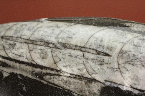 連結細管も見られる!デボン紀の頭足類オルソセラス(Orthoceras)/古生代デボン紀(4億1000万 -- 3億6700万年前)【ot764】
