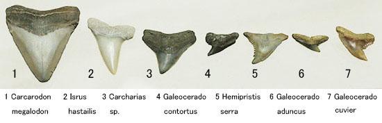 良質歯が集結した、豪華なサメの歯化石7点セット/ 【sh114】