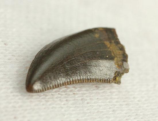 セレーション抜群状態。ドロマエオサウルスの歯化石(Dromaeosaurus)/中生代白亜紀(1億3500万 -- 6500万年前)【di873】