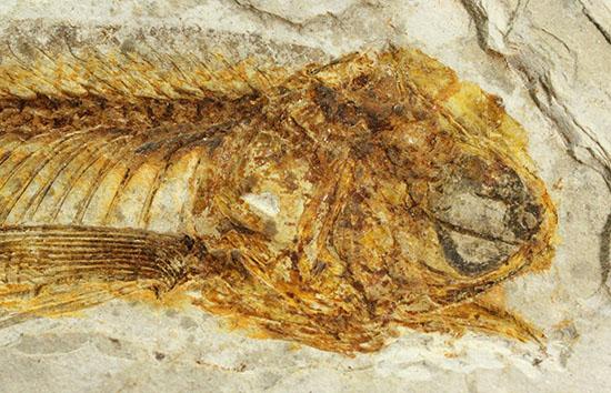 抜群の保存状態で化石化しました!東アジアを代表する淡水魚化石、リコプテラ/中生代白亜紀(1億3500万 -- 6500万年前)【ot789】
