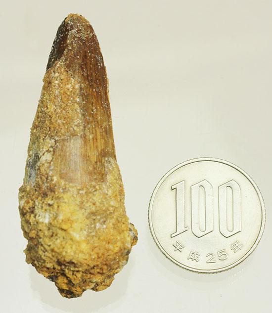 「水棲」の研究報告で注目度大の、肉食恐竜スピノサウルス歯化石(Spinosaurus)/中生代白亜紀(1億3500万 -- 6500万年前)【di881】
