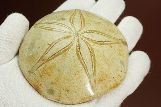 ヒトと体の構成がまったく違う、五角形の棘皮(きょくひ)動物、ジュラ紀ウニ化石/中生代ジュラ紀(1億9500万 -- 1億3500万年前)【ot802】