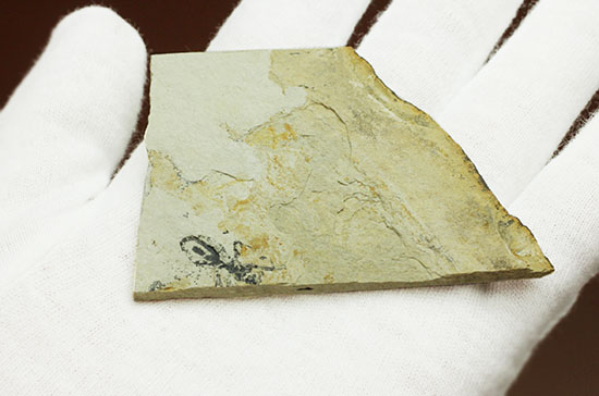 トンボの幼虫、ヤゴ化石(裏側に葉っぱの化石あり)/新生代第三紀(6500万 -- 260万年前)【ot817】