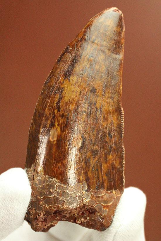 茶色の歯冠に美しい光沢。厚みがあり、ジェムのような輝きを放つカルカロドントサウルス歯化石/中生代白亜紀(1億3500万 -- 6500万年前)【di893】