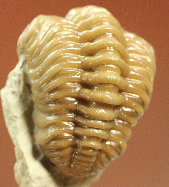 驚きの保存状態!米国産オクラホマ州産古生代デボン紀三葉虫パシファコプス/古生代デボン紀(4億1000万 -- 3億6700万年前)【tr489】