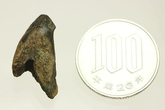 デンタルバッテリー構造とはいかに?頑丈なトリケラトプスの歯化石(Triceratops horridus)/中生代白亜紀(1億3500万 -- 6500万年前)【di904】