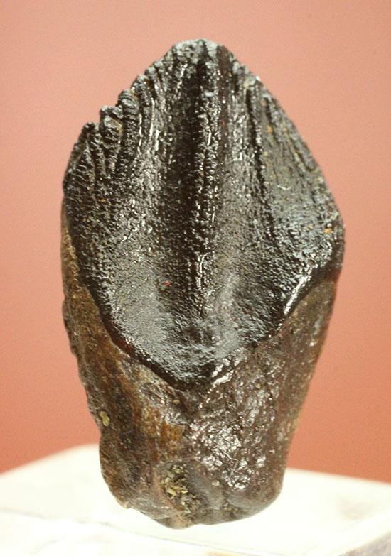 ナイスフォルム!歯冠のトップが見事に保存された、トリケラトプスの歯化石(Triceratops horridus)/中生代白亜紀(1億3500万 -- 6500万年前)【di910】