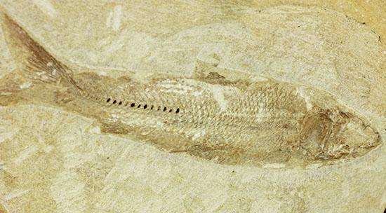 特筆すべき保存状態、ブラジル・サンタナ層産の魚化石のマルチ標本。/中生代白亜紀(1億3500万 -- 6500万年前)【ot842】