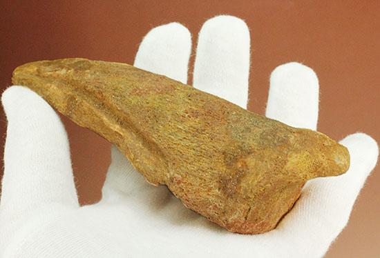 巨大!マニア垂涎の逸品!丸々と分厚いスピノサウルスの成体の爪化石/中生代白亜紀(1億3500万 -- 6500万年前)【di915】