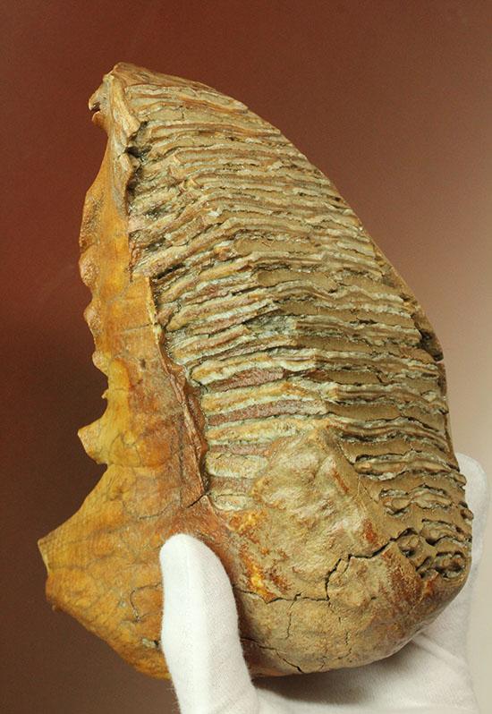 パーフェクトコレクション!歯冠だけでなく歯根も堪能できるウーリーマンモスの歯化石のパーフェクトコレクション/新生代第四紀(260万年前 -- 現在)【ot857】