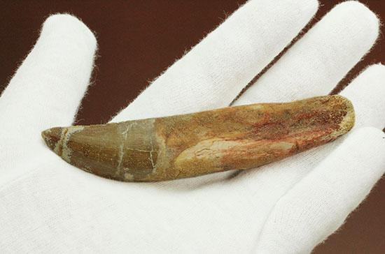 レア!ほぼ末端まで歯根が保存された、希少なカルカロドントサウルスの歯化石/中生代白亜紀(1億3500万 -- 6500万年前)【di917】
