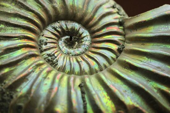 レア!ロシア産イリデッセンス(iridescence)アンモナイト、ヴェルトゥミニセラス。/中生代ジュラ紀(1億9500万 -- 1億3500万年前)【an1046】