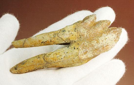 非常に珍しい!ドルドン(原始クジラ)の奥歯の化石/新生代(6500万年前 -- 現在)【ot876】