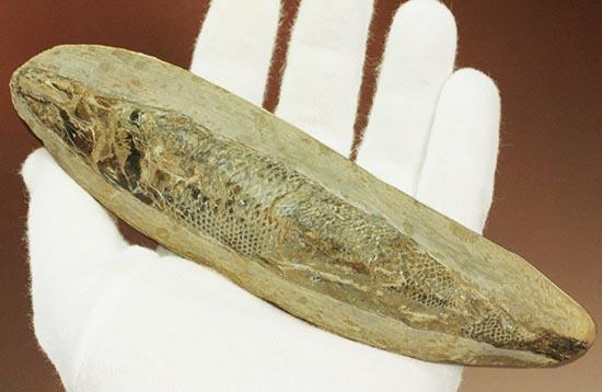 ウロコが見ものです!16センチの白亜紀ブラジル産魚化石、ラコレピス/中生代白亜紀(1億3500万 -- 6500万年前)【ot894】