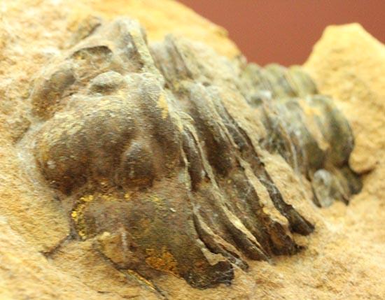 クリーニングしても鑑賞してもOK!三葉虫カリメネノジュール標本/古生代オルドビス紀(5億500万 -- 4億4600万年前)【tr499】