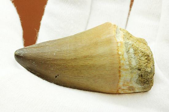 長10cm超え!これぞキングサイズ、白亜紀の王者、モササウルスの極太歯化石/中生代白亜紀(1億3500万 -- 6500万年前)【ot912】