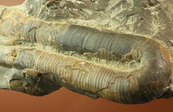 書籍掲載標本!松本達郎氏から高い評価を得た、初期の二本木コレクション ポリプチコセラス&メソプゾシア/中生代ジュラ紀(1億9500万 -- 1億3500万年前)【an1089】