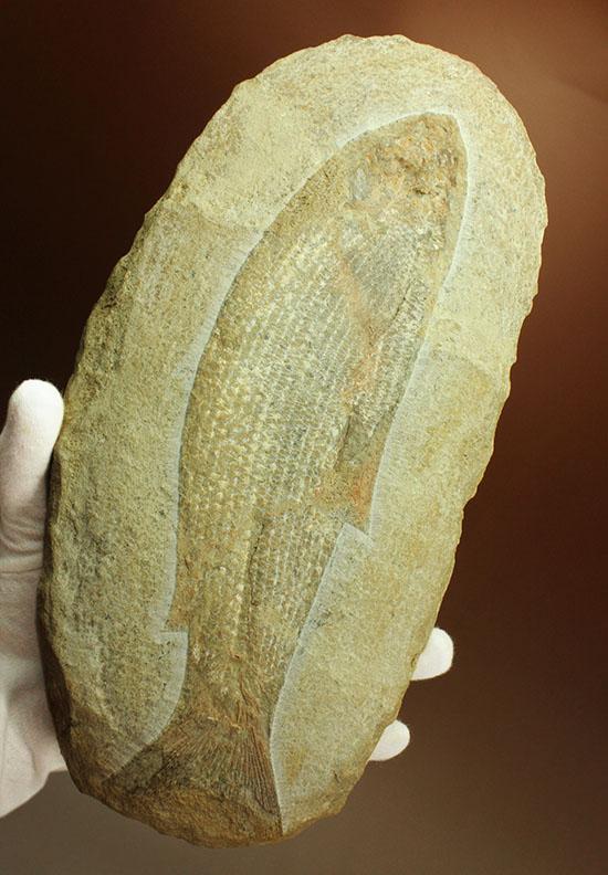 飾り映えします!ニシン目と推察される1億年前の古代魚の化石。ブラジル産。/中生代白亜紀(1億3500万 -- 6500万年前)【ot919】