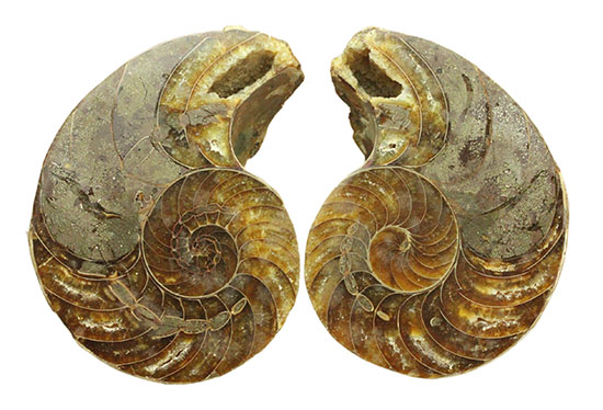 厚みがすごい!中身丸わかりのオウムガイのスライスペア標本/中生代白亜紀(1億3500万 -- 6500万年前)【an1091】