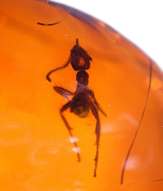 濃い飴色と美しいフォルム。保存状態抜群のアリを内包したドミニカ産の琥珀/新生代(6500万年前 -- 現在)【ot921】