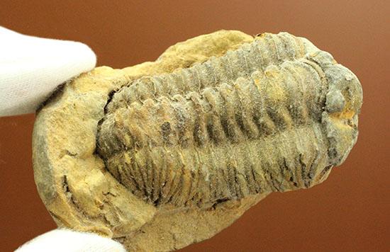 申し分ない保存状態のカリメネ三葉虫ノジュール標本/古生代オルドビス紀(5億500万 -- 4億4600万年前)【tr503】