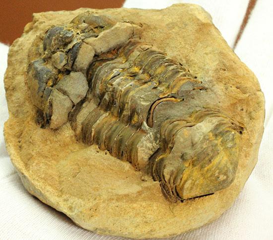 本体カーブ計測8.8センチ。ネガポジいずれも確認できる、カリメネ三葉虫ノジュール標本/古生代オルドビス紀(5億500万 -- 4億4600万年前)【tr504】