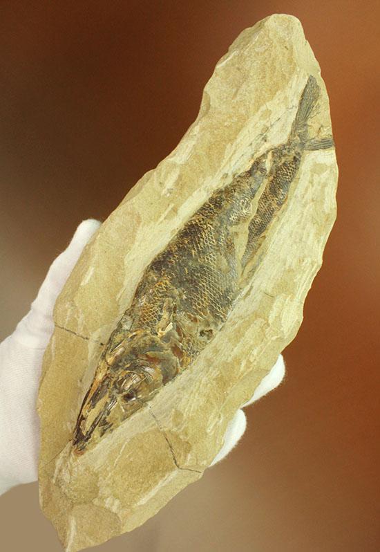 鋭角な頭部、鋭い歯が残る、ブラジル・セアラ産肉食魚カマスの魚化石/中生代白亜紀(1億3500万 -- 6500万年前)【ot922】