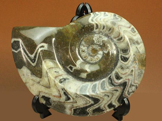 まさにこれぞ鑑賞用!三拍子揃った、ゴニアタイトアンモナイト優秀標本(Goniatite)/古生代デボン紀(4億1000万 -- 3億6700万年前)【an1084】