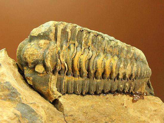 体節のうねりがすごい!カリメネ三葉虫ノジュール標本/古生代オルドビス紀(5億500万 -- 4億4600万年前)【tr506】