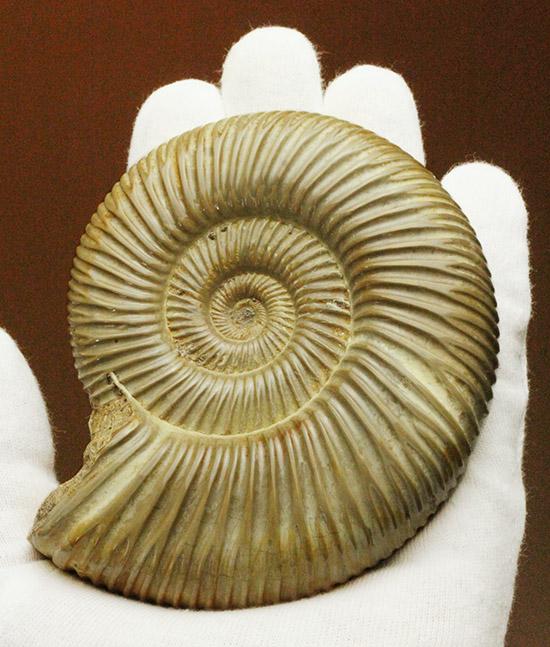 アンモナイトコレクターなら、必ず手元に置いておきたい!パーフェクトコンディションのペリスフィンクテス/中生代白亜紀(1億3500万 -- 6500万年前)【an1086】