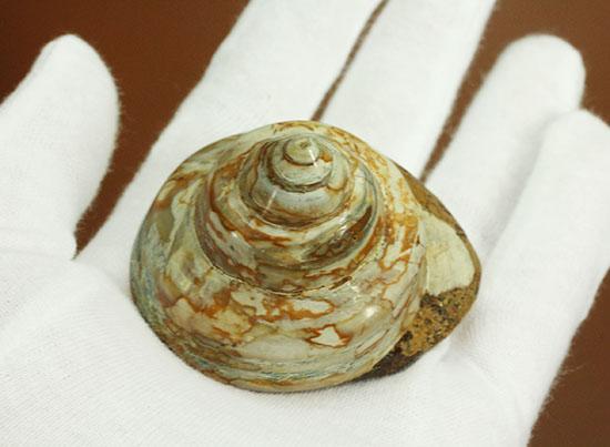 1億年以上前の巻き貝(腹足類 ...