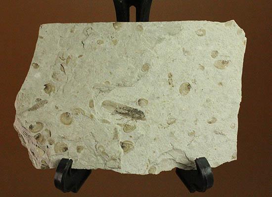 羽や軟体部の構造まで確認できる、見事な保存状態のセミの化石/ 【ot1011】