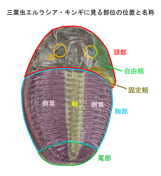 三葉虫エルラシア・キンギに見る、部位とその名称