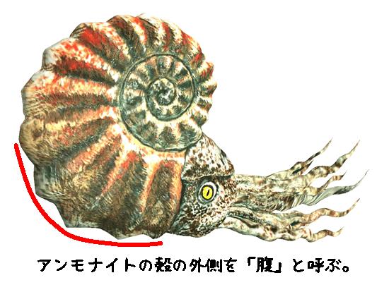 アンモナイトの殻の外側を腹という