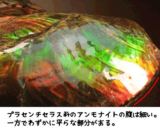 プラセンチセラス科のアンモナイトの腹