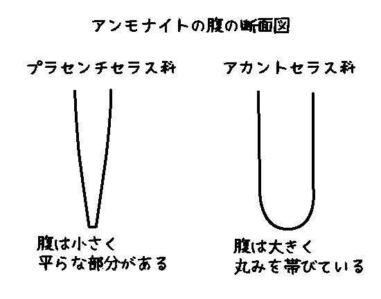 アンモナイトの腹の断面図
