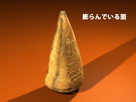 ティラノサウルス科に特徴的な歯の形2