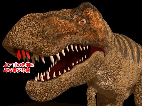 ティラノサウルス科の前上顎骨歯の位置